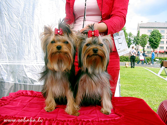 Jorkšīras terjers (Yorkshire Terrier) 