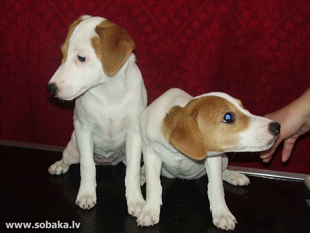 Parsona Rasela terjers (Parson Russell Terrier)