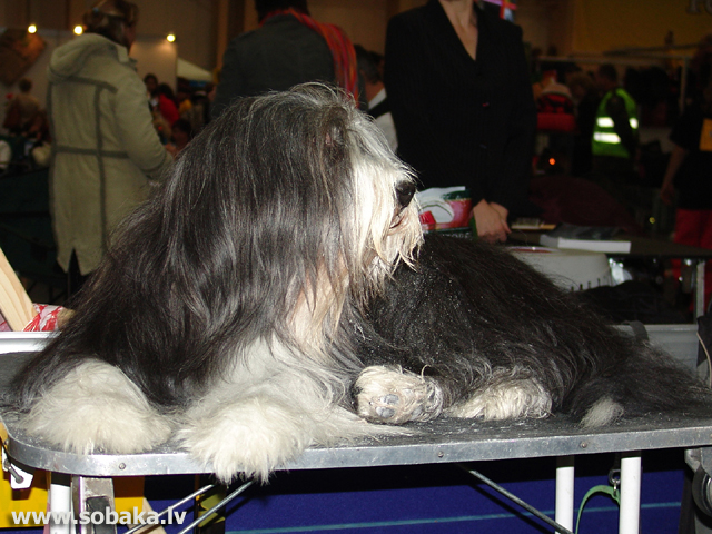 Bārdainais kollijs 